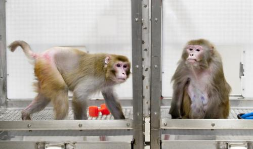 Monkey caloric restriction study shows big benefit; contradicts earlier study