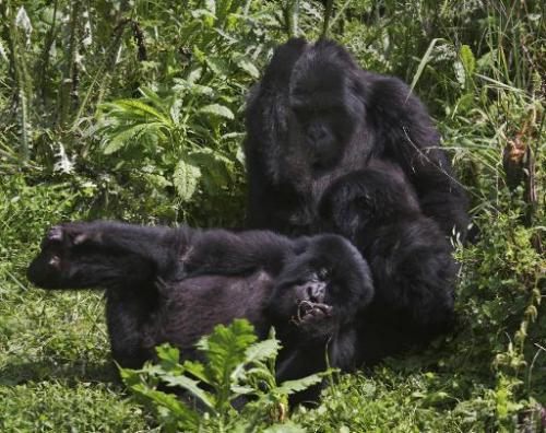 Mountain Gorillas frolick in dense undergrowth at the Virunga National park in Rwanda on June 17, 2012