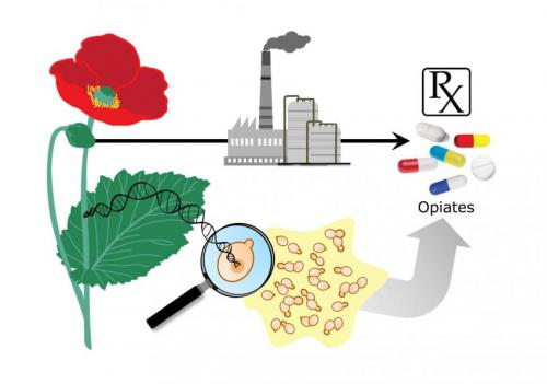 Stanford bioengineers close to brewing opioid painkillers without using opium from poppies