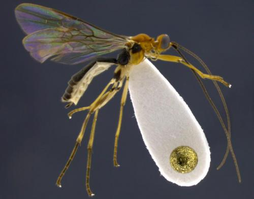Mummy-making wasps discovered in Ecuador