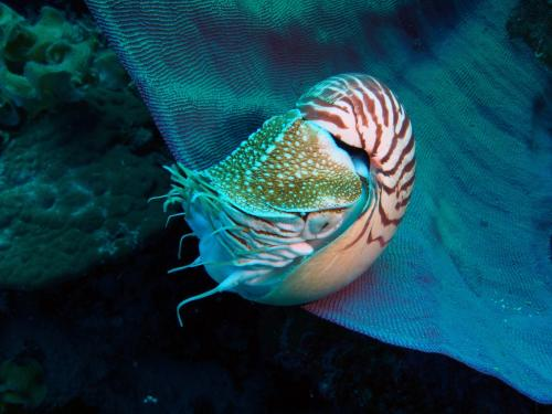 Call to ban trade on iconic Nautilus seashell
