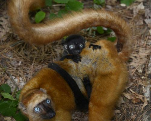 Nearly 50 years of lemur data now available online