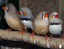 Nest-building in finches is a learning process developed through experience