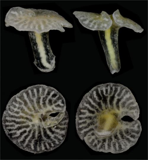 New deep sea mushroom-shaped organisms discovered