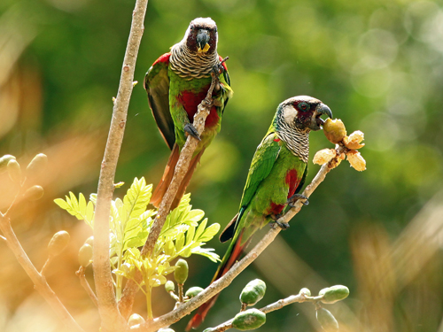 New population of critically endangered parakeets found in Brazil