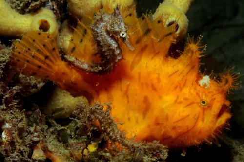 No-take marine reserves a no-win for seahorses