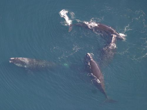 Notifying speeding mariners lowers ship speeds in areas with North Atlantic right whales