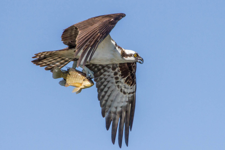 Observed population of endangered osprey increases sevenfold