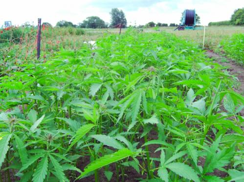 Oil composition boost makes hemp a cooking contender