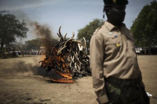 Over a thousand kilos of elephant tusks are incinerated in the Zakouma National Park, in Goz Djarat on February 21, 2014