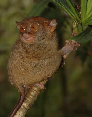 Philippine tarsier gets boost from Kansas research, and genetic proof of a new variety