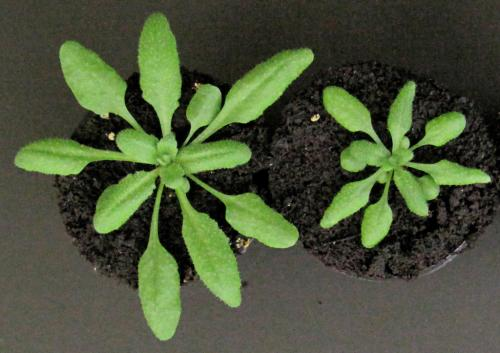 Plant hormones with overlapping signaling pathways play distinct roles in controlling growth