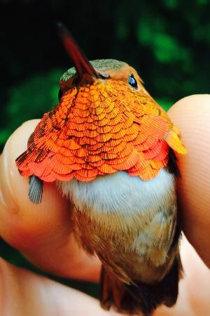 Precipitation, not warming temperatures, may be key in bird adaptation to climate change