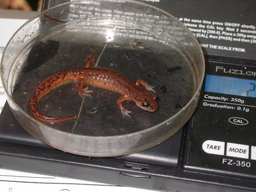 Predation on invertebrates by woodland salamanders increases carbon capture