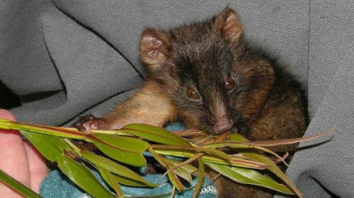Predators outweigh disease in possum threats