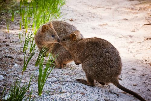 Quokka 'pellets' best determiner of population abundance