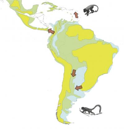 Reconstructing the New World monkey family tree