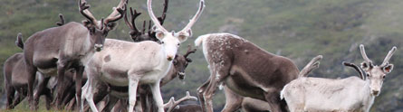 Reindeer grazing may counteract effects of climate warming on tundra carbon sink