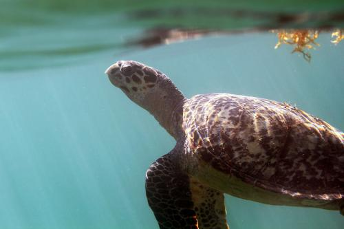 Researcher tracks Hawksbill turtles off Brazilian coast