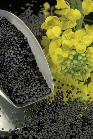Canola genome sequence reveals evolutionary 'love triangle'