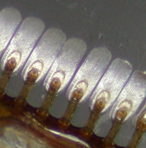 Researchers find suction-cup-shaped circular bristles give male diving beetles a mating advantage