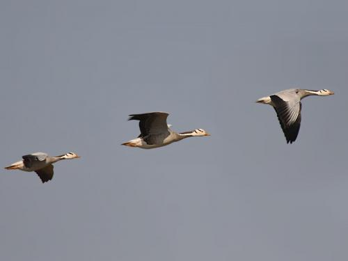 Running geese give insight into low oxygen tolerance