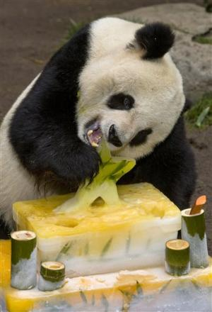 San Diego Zoo giant panda recovering from surgery