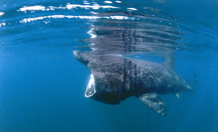 Scientist reveals secrets of Scotland's basking sharks in new report