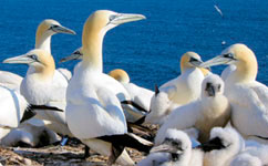 Seabird guano releases more ammonia at tropics