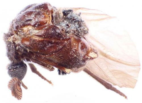 Serendipity at the Smithsonian: The 107-year journey of the beetle Rhipidocyrtus muiri