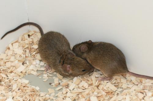 Sexual selection enhances ability of offspring to cope with infection