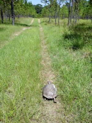 Sick gopher tortoises are unusually mobile, could be leading to disease spread, study finds