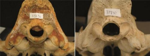 Skull malformations in lions is a consequence of a combination of environmental and genetic factors