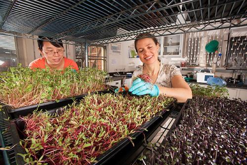 Питательная ценность микрозелени выше, чем плодов того же вида