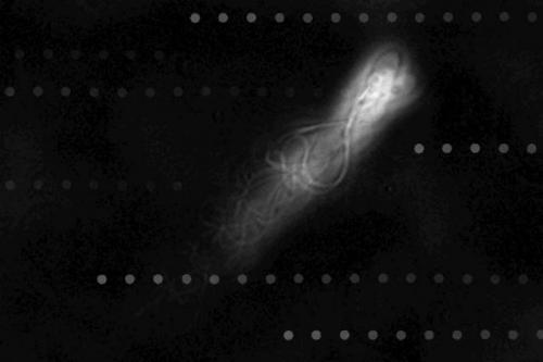 Sperm cells are extremely efficient at swimming against a current