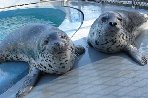 Spotted seal study reveals sensitive hearing in air and water