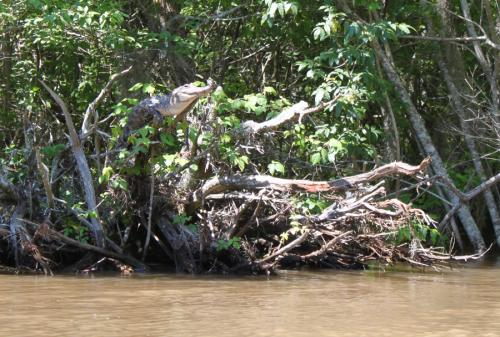 Study finds crocodile tree-climbing and -basking behavior.