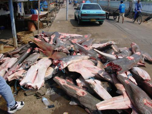 Study says sharks/rays globally overfished