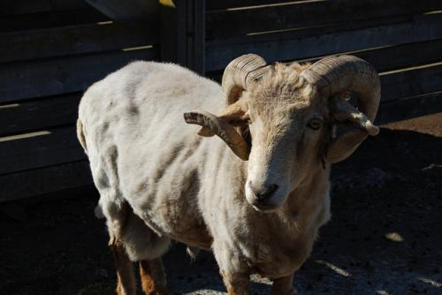 Sufficient food vital for functioning ram sperm
