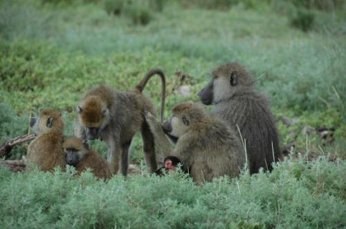 Supportive moms and sisters boost female baboon's rank