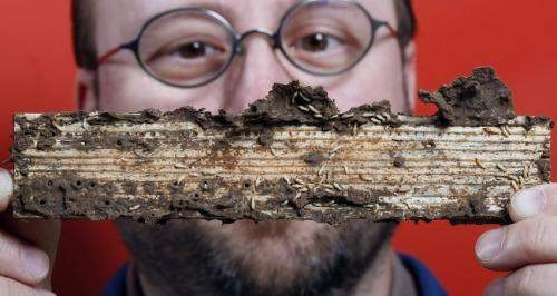 Termite genome lays roadmap for 'greener' control measures