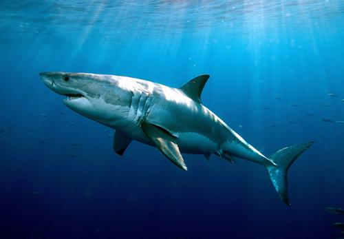 New study finds extreme longevity in white sharks