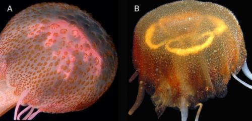 The beautiful new jellyfish identified in the Gulf of Venice