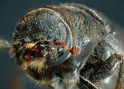 The devastating spread of the mountain pine beetle