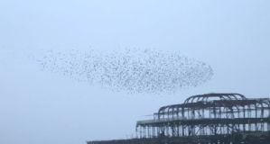 The mystery behind starling flocks explained