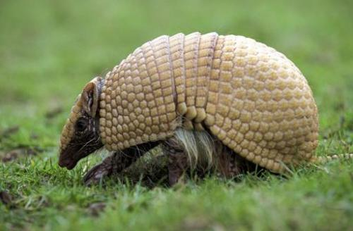 The Three-banded Armadillo, which is the insipiration for Brazil's World Cup mascot, is facing extinction