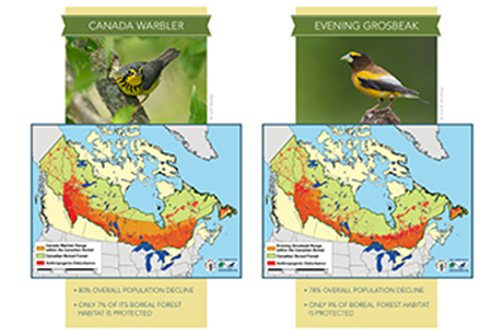 Threats seen to 3 billion birds in vast Canadian forest
