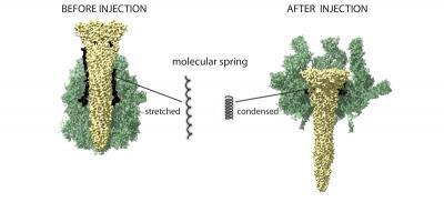 Токсичный эластичный «шприц» бактерий