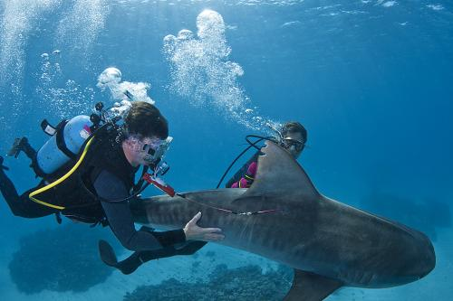 Tracking the deep sea paths of tiger sharks