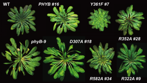 Tricking plants to see the light may control the most important twitch on Earth